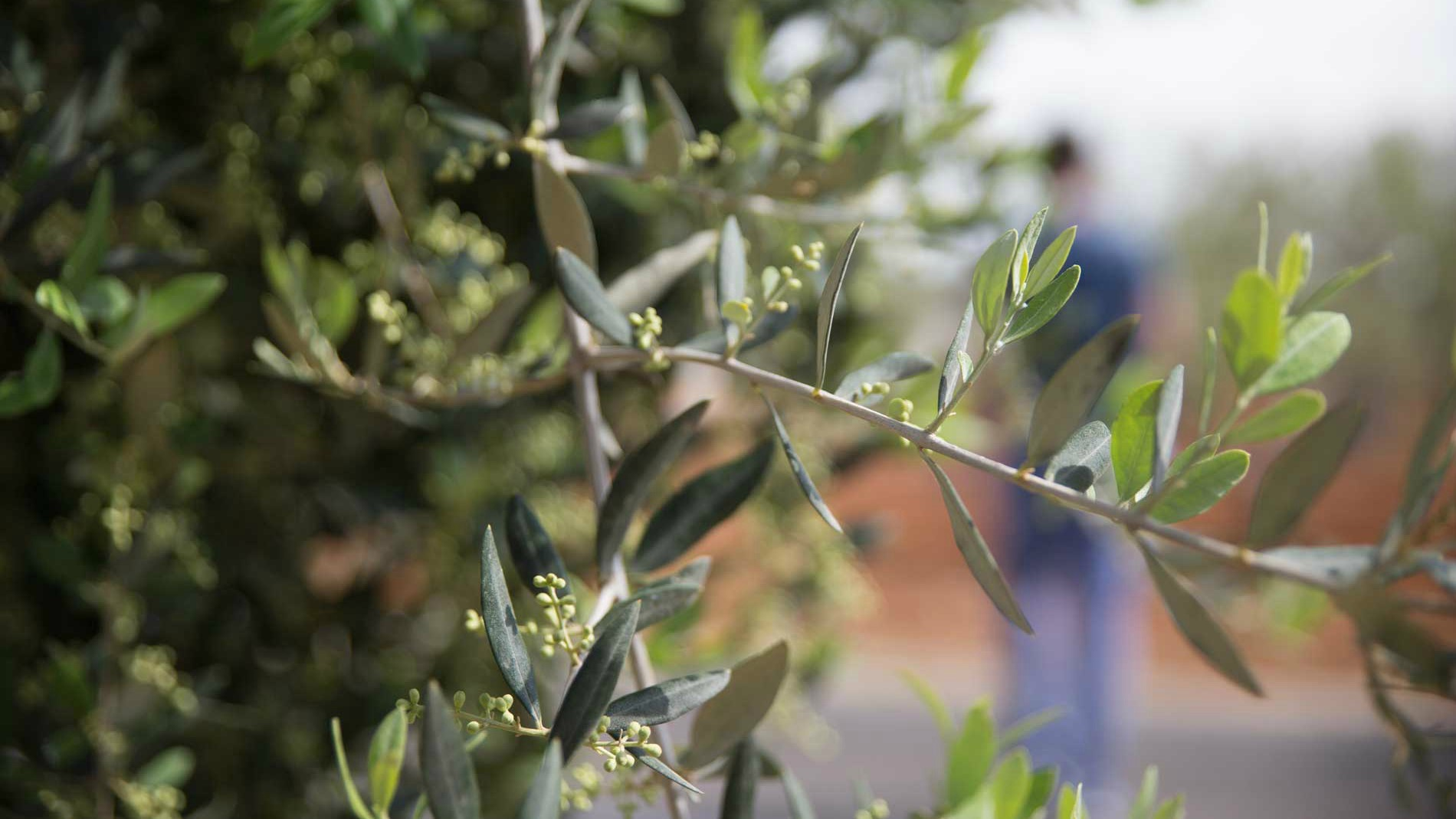 Olive oil tree. Photo by Francois
