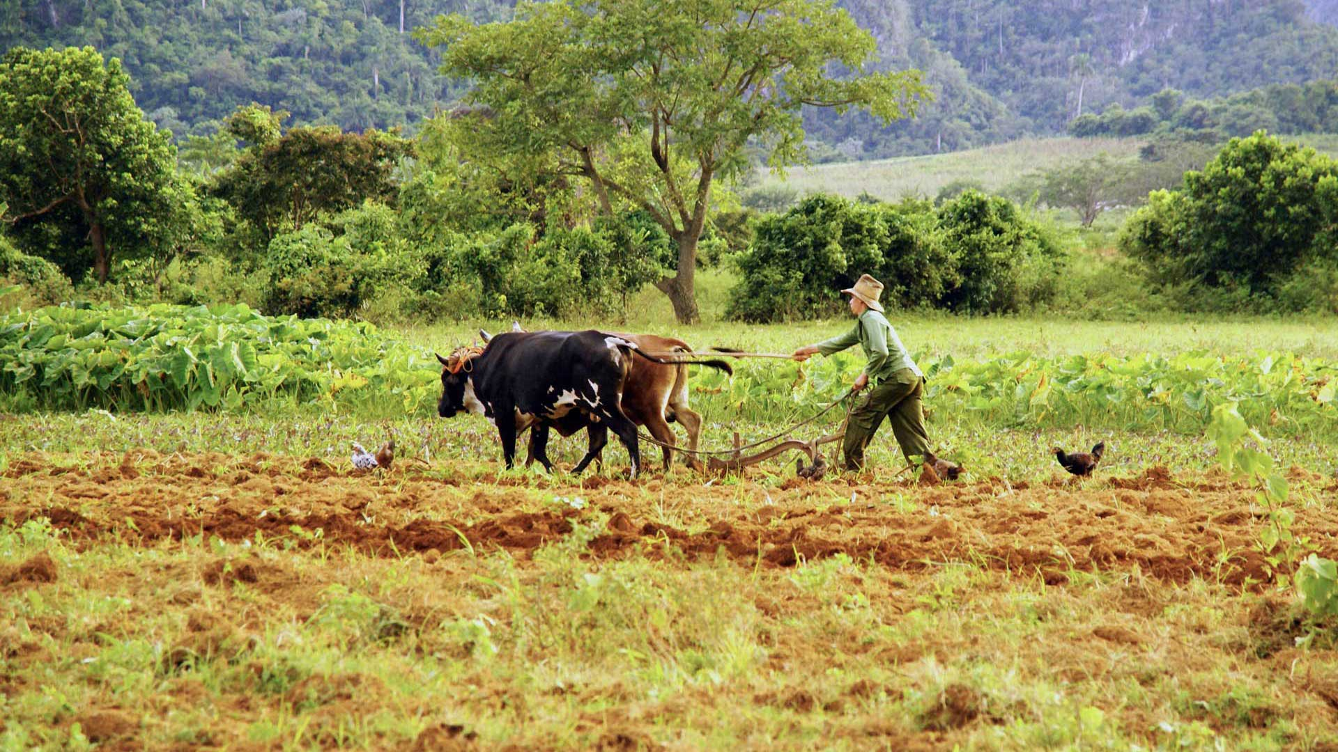 Cubanese farmer at work. Photo by Ovidiu Balaj