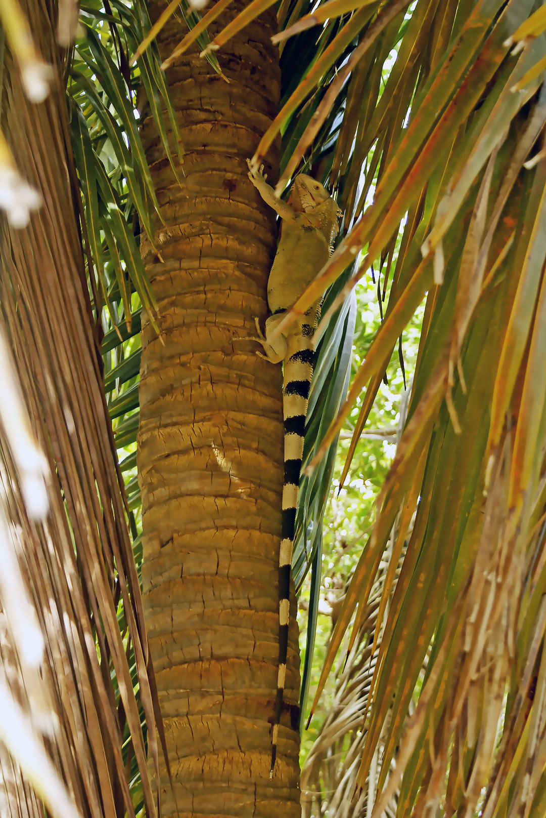 The iguana returning home after lunch. Photo by Ovidiu Balaj
