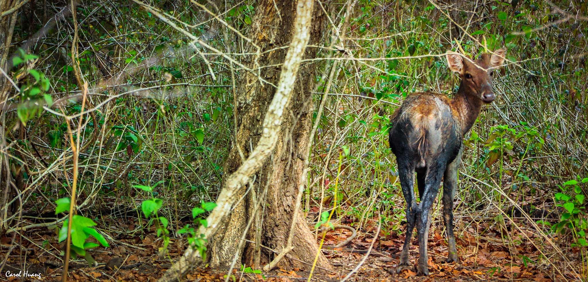 Deer in Komodo National Park