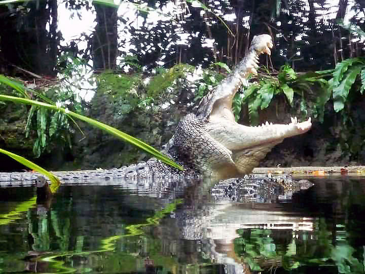 Crocodile at Singapore Zoo
